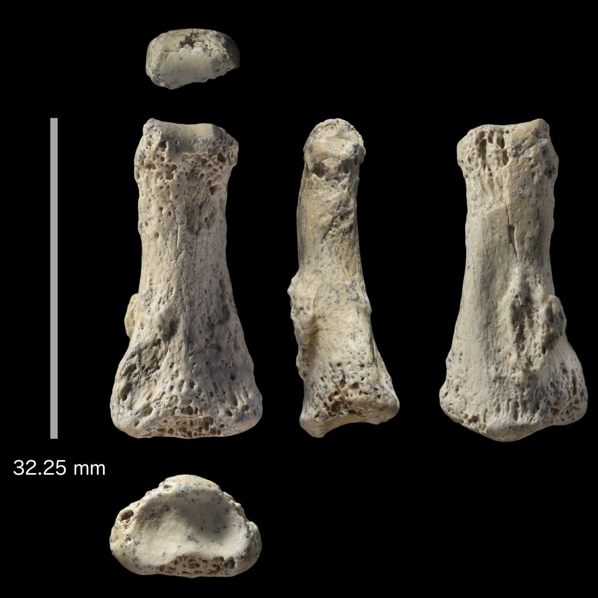 Fossil finger bone of Homo sapiens from the Al Wusta site, Saudi Arabia: the intermediate phalanx groups most closely with modern humans, not Neanderthals or primates