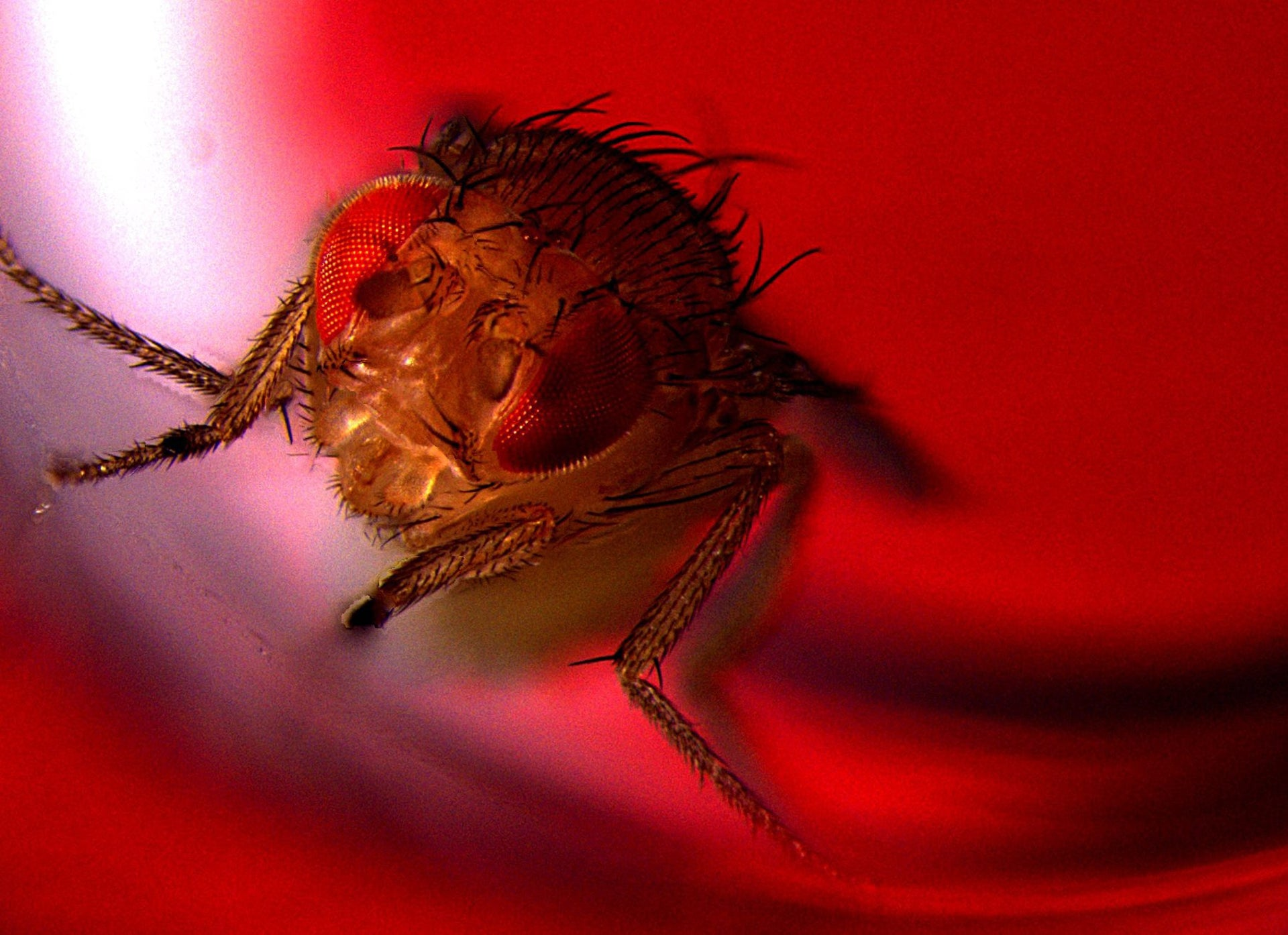 "Guess what this genetically engineered fly is doing. Picture shows a fruit fly genetically engineered to ejaculate when bathed in red light (""optogenetic stimulation"")."