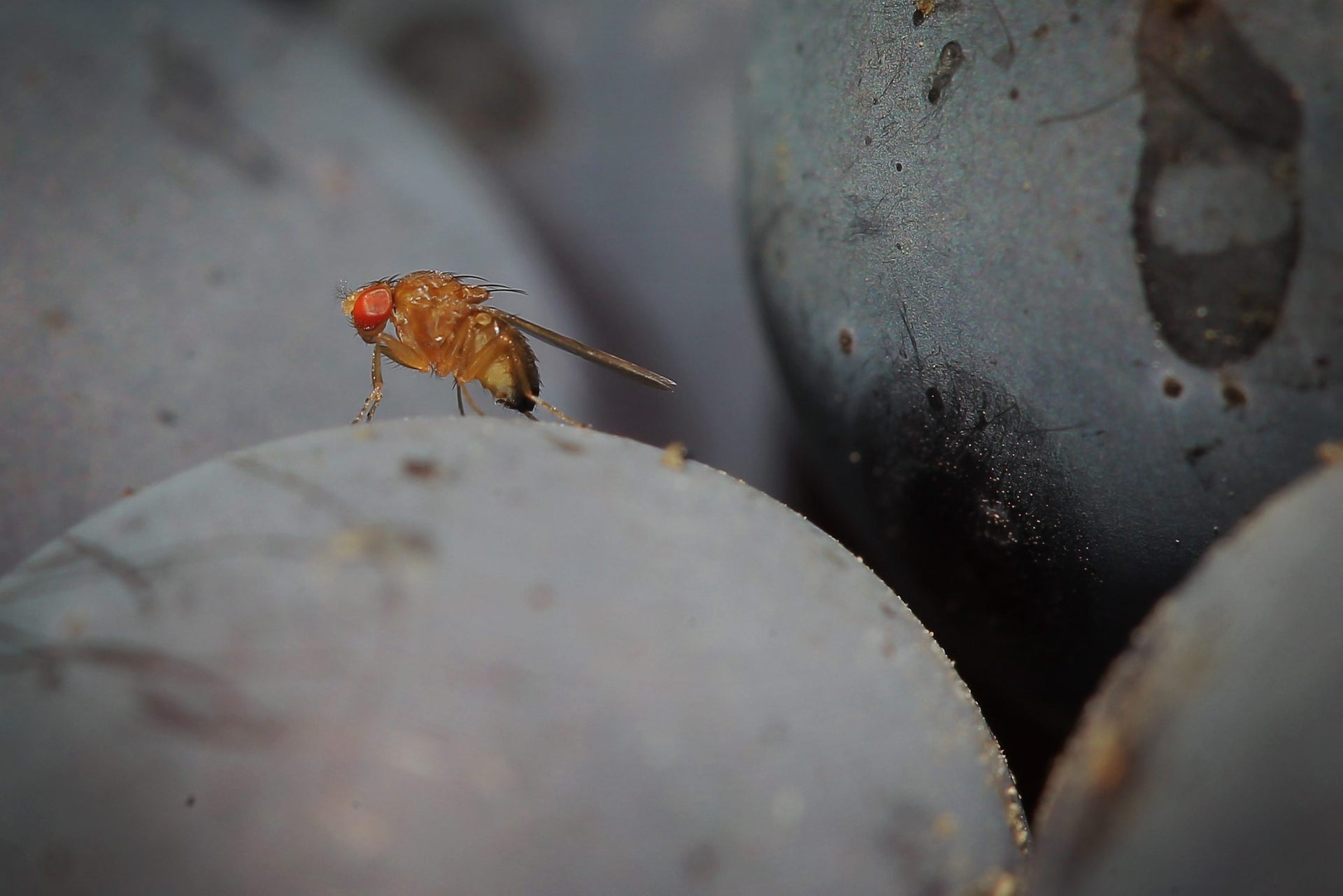 Picture shows a fruit fly sitting on grapes