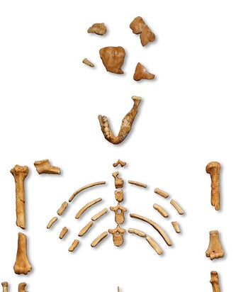Lucy is the common name of AL 288-1, several hundred pieces of bone fossils representing 40 percent of the skeleton of a female of the hominin species Australopithecus afarensis.