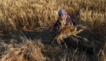 A Palestinian woman harvests barley on a farm in Khan Younis in the southern Gaza Strip April 23, 2018. REUTERS/Ibraheem Abu Mustafa