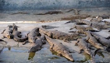 Small crocodiles in the crocodile park in the northern Jordan Valley, 2011
