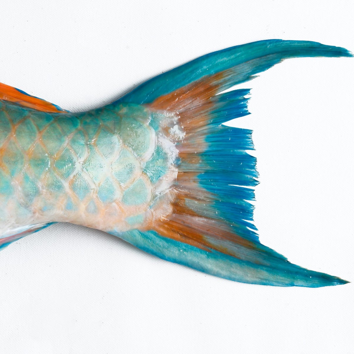 The tail of a parrotfish.