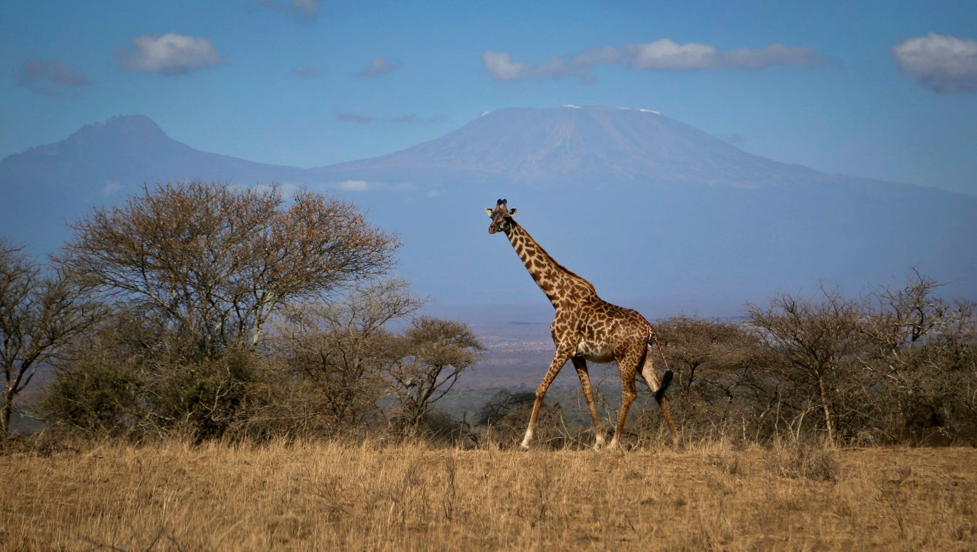 African savannah: Photo shows a giraffe standing on grassland with sparse trees and mountains in teh background