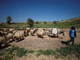 A Palestinian boy herds sheep in Jordan Valley in the occupied West Bank March 13, 2018. Picture taken March 13, 2018