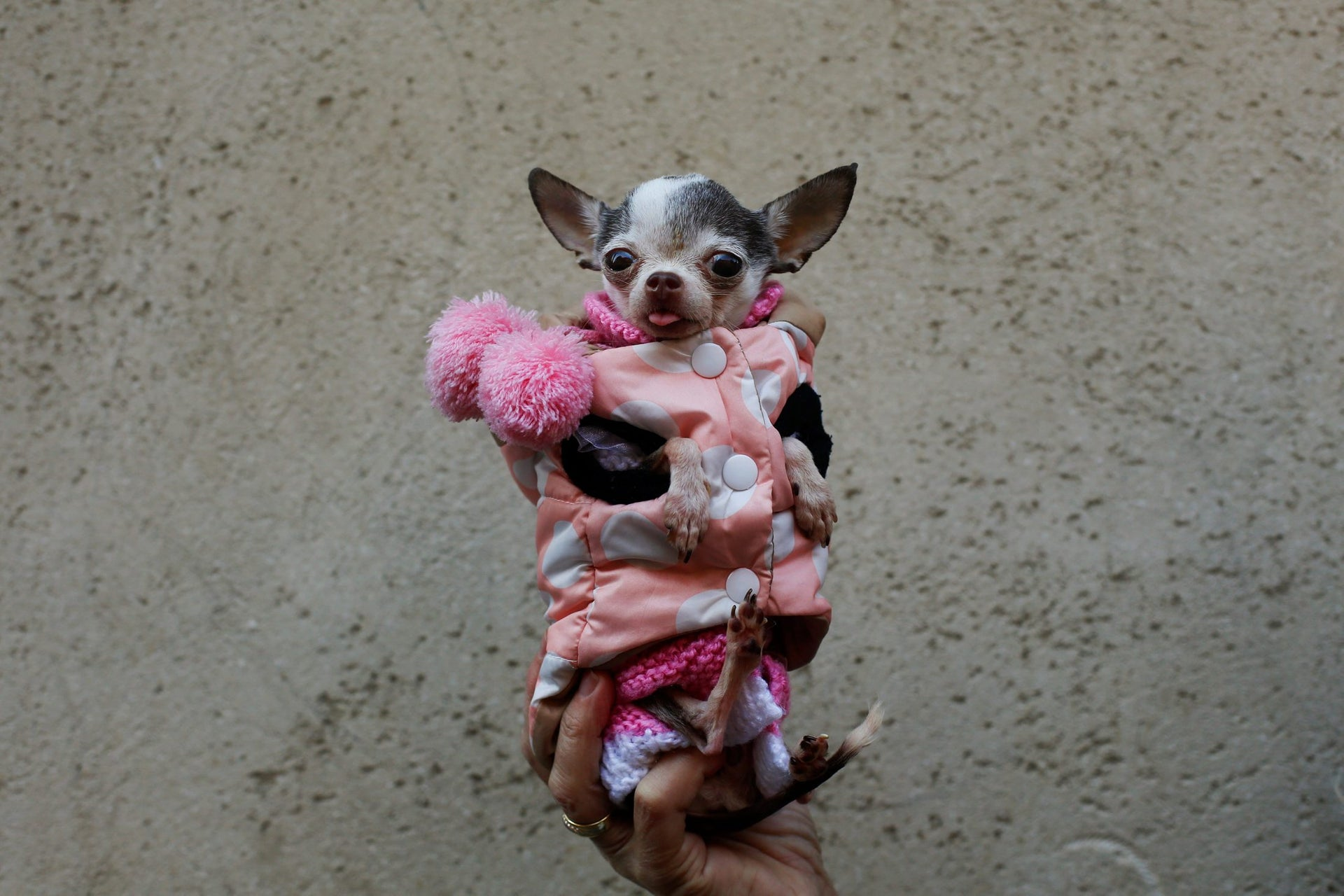 People tend to upload pictures like these: Photo shows swaddled chihuahua