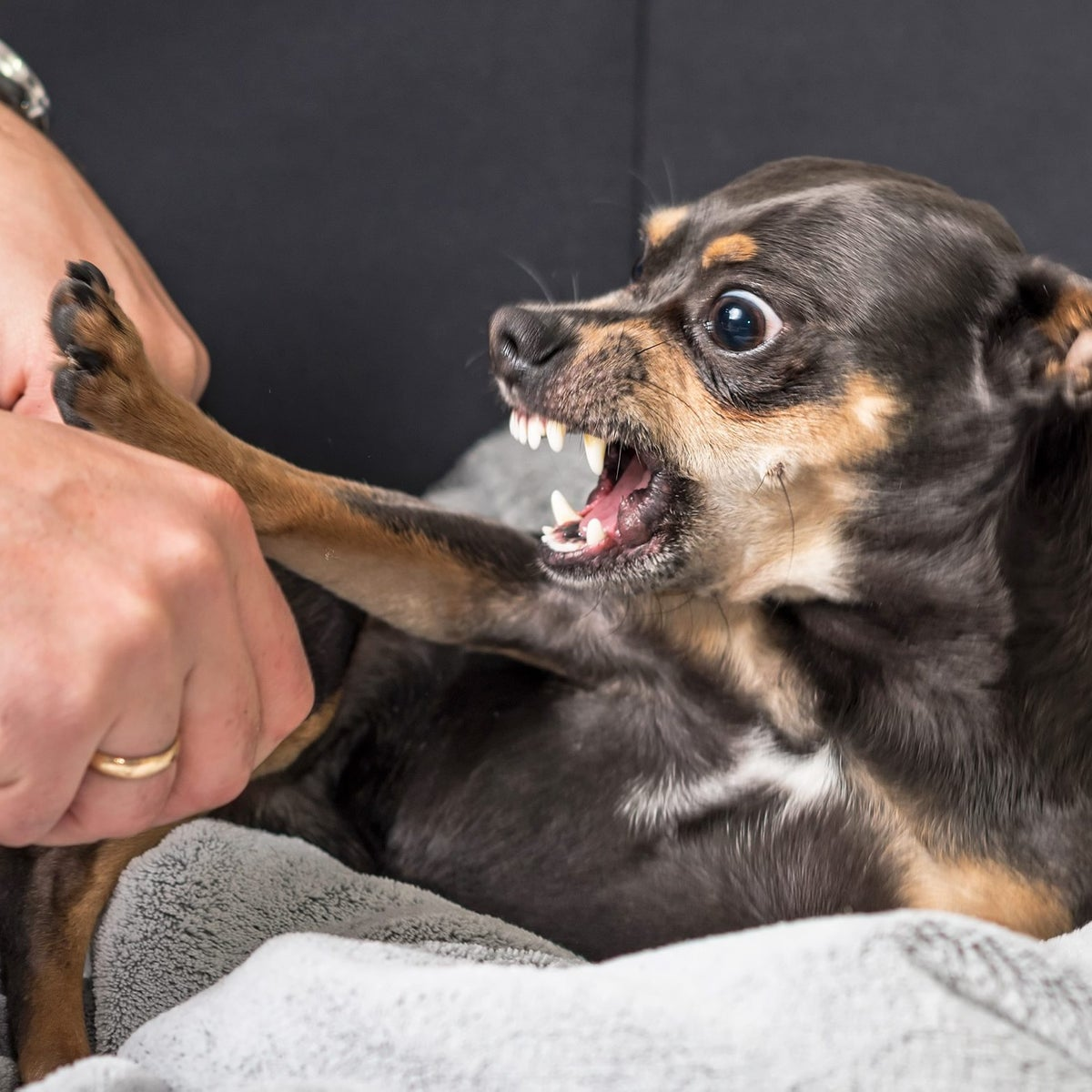 Picture shows man's hands on left and snarling chihuahua on right. His ears are flattened