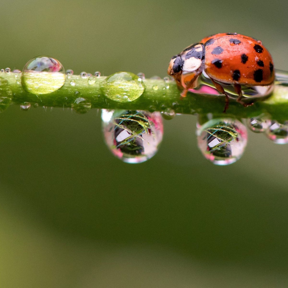 Ladybug on a stem with water drops