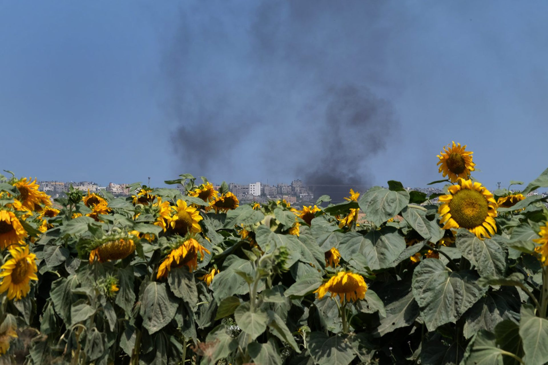 Smoke rises behind a sunflower field on the Gaza border