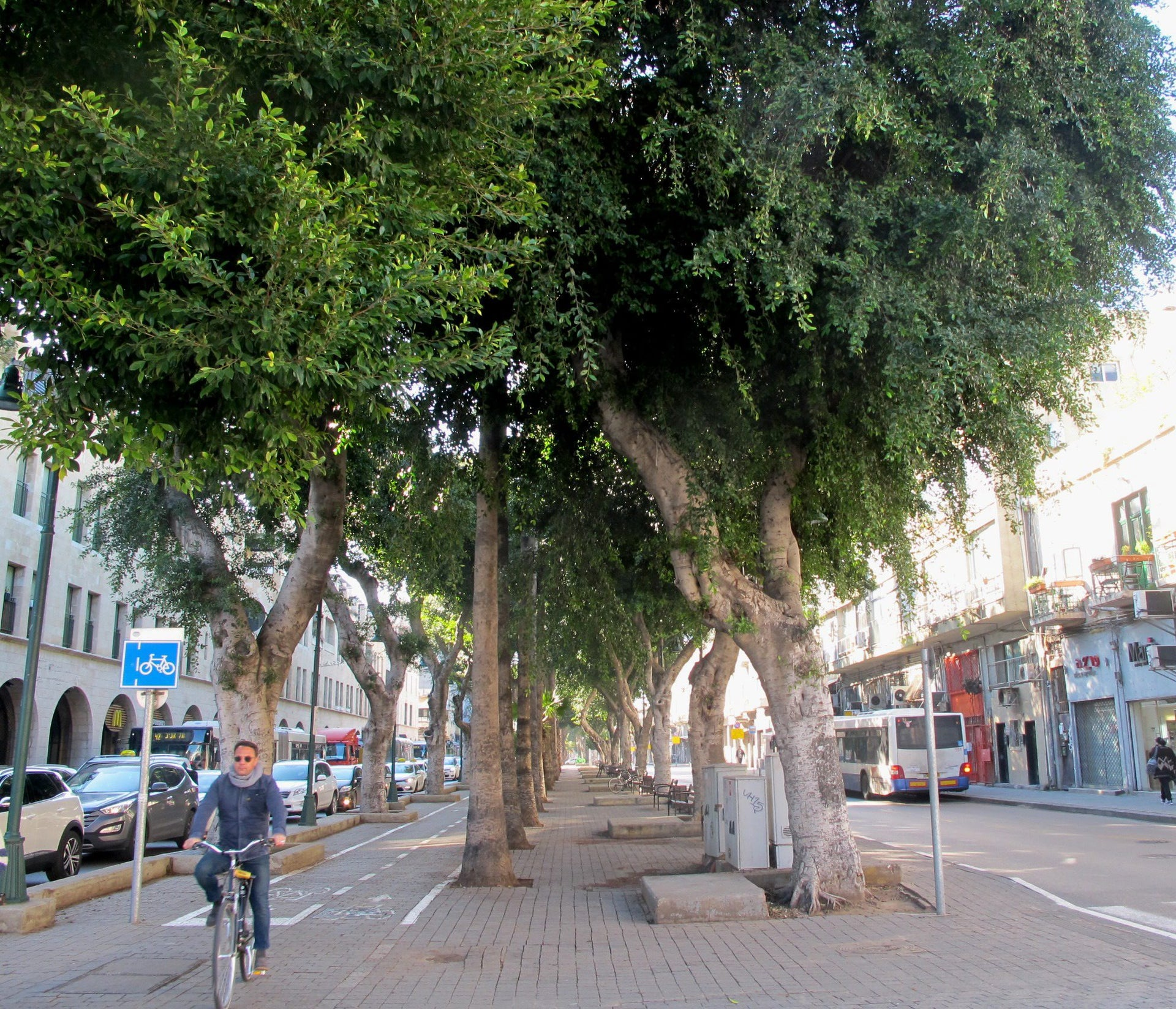 A row of ficus trees on Jerusalem Boulevard, Jaffa, that are marked for removal to make way for the Red Line.