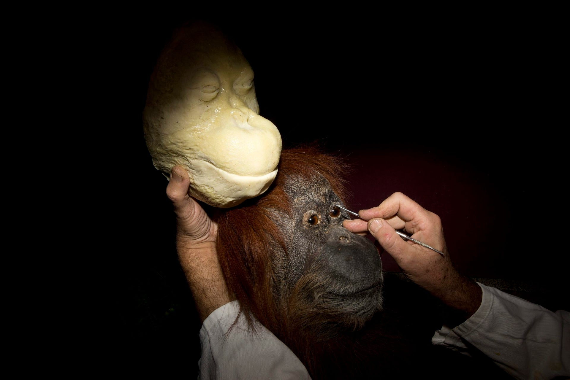 In this Sunday, Nov 5, 2017 photo, taxidermist Igor Gavrilov works on a stuffed orangutan to be displayed at the Steinhardt Museum of Natural History in Tel Aviv, Israel. (AP Photo/Oded Balilty)