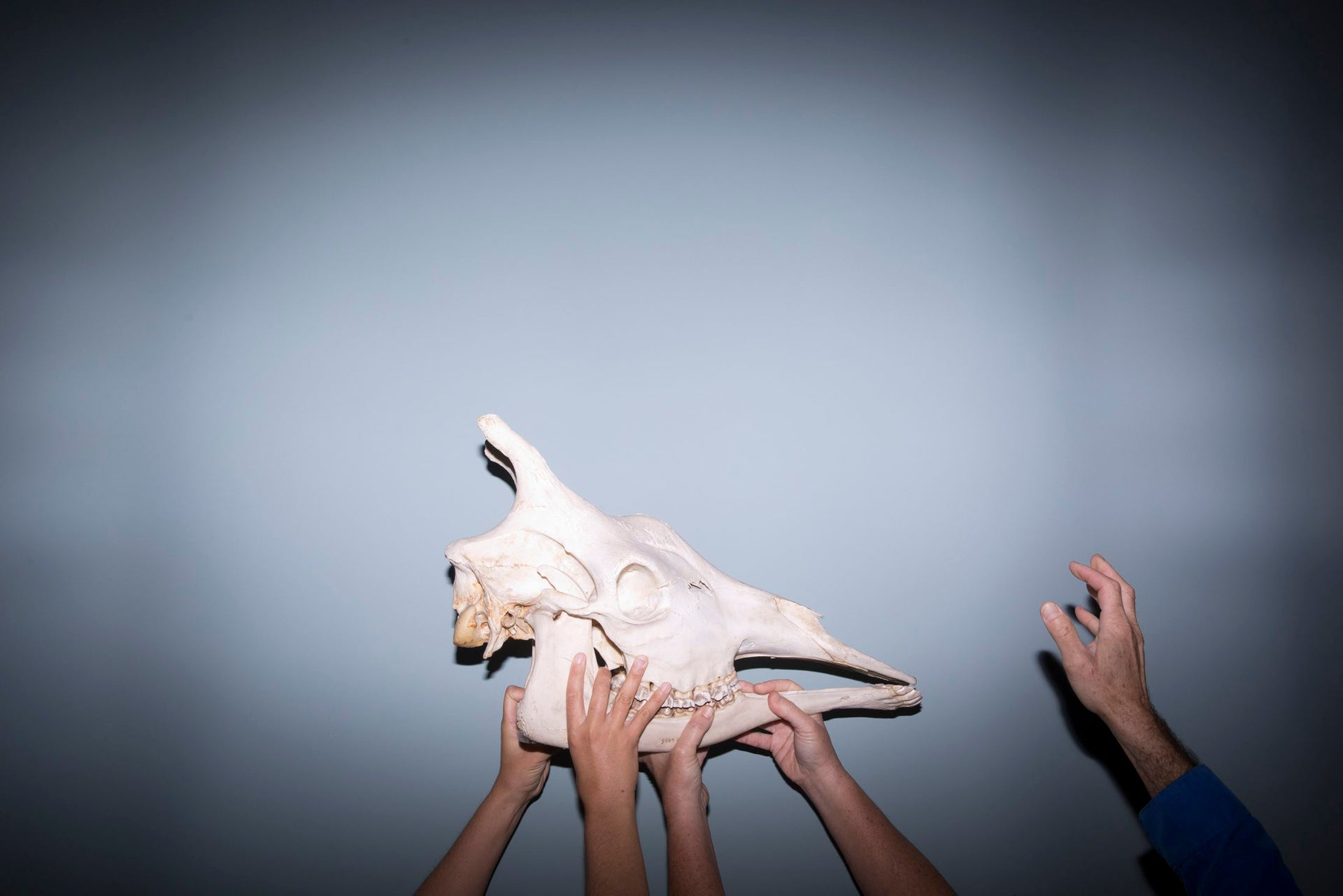 In this Monday, Oct 23, 2017 photo, exhibition designers hold a giraffe skull to be displayed at the Steinhardt Museum of Natural History in Tel Aviv, Israel.