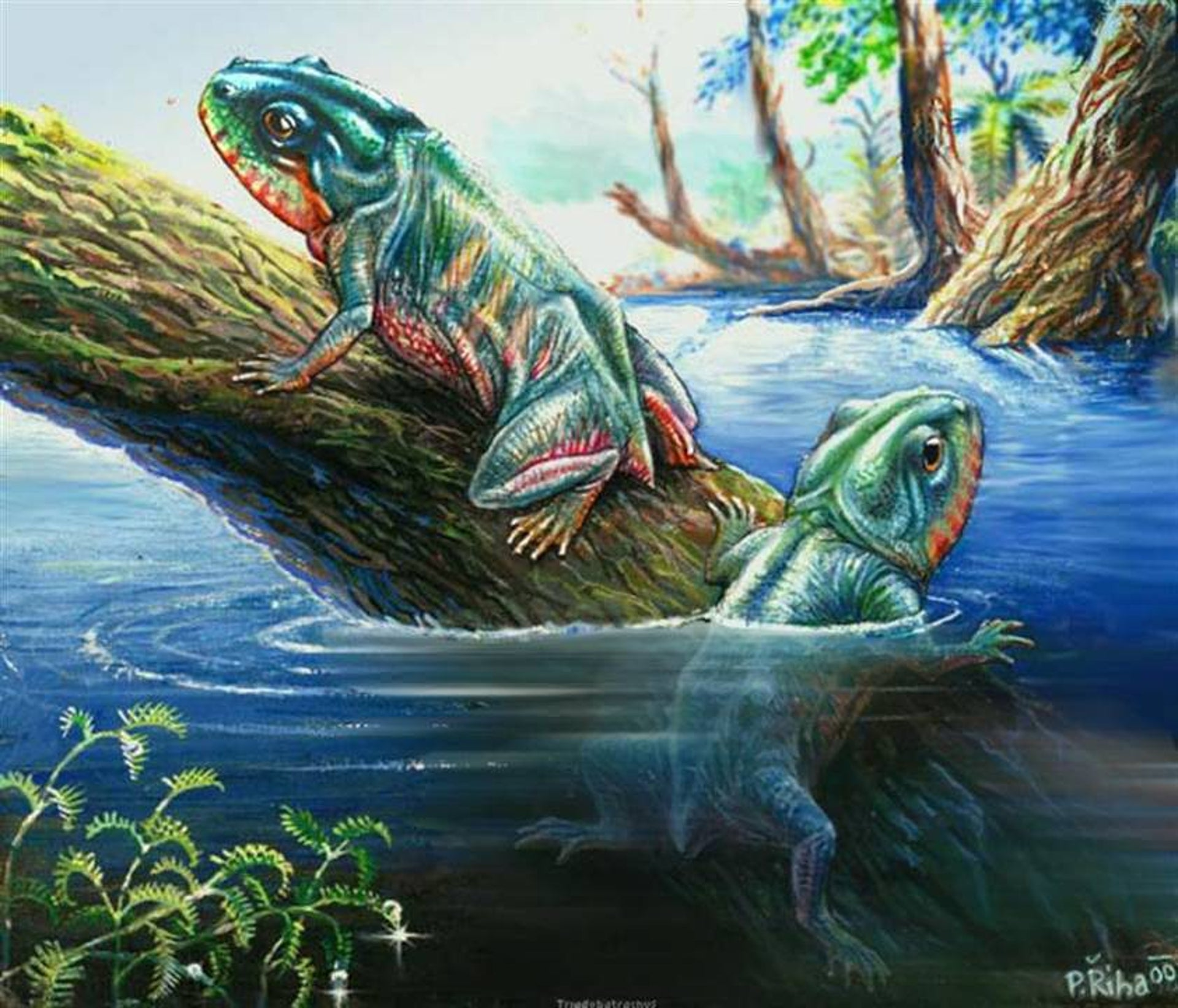 The earliest froglike amphibian for which we have fossil evidence: Triadobatrachus massinoti, a big one about 10 centimeters long, which had a lot more vertebrae in its spine than frogs do today