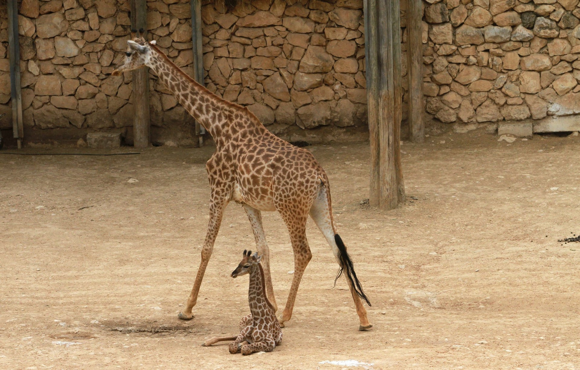 Baby giraffe, 3 weeks old, with her mother at the Jerusalem Biblical Zoo