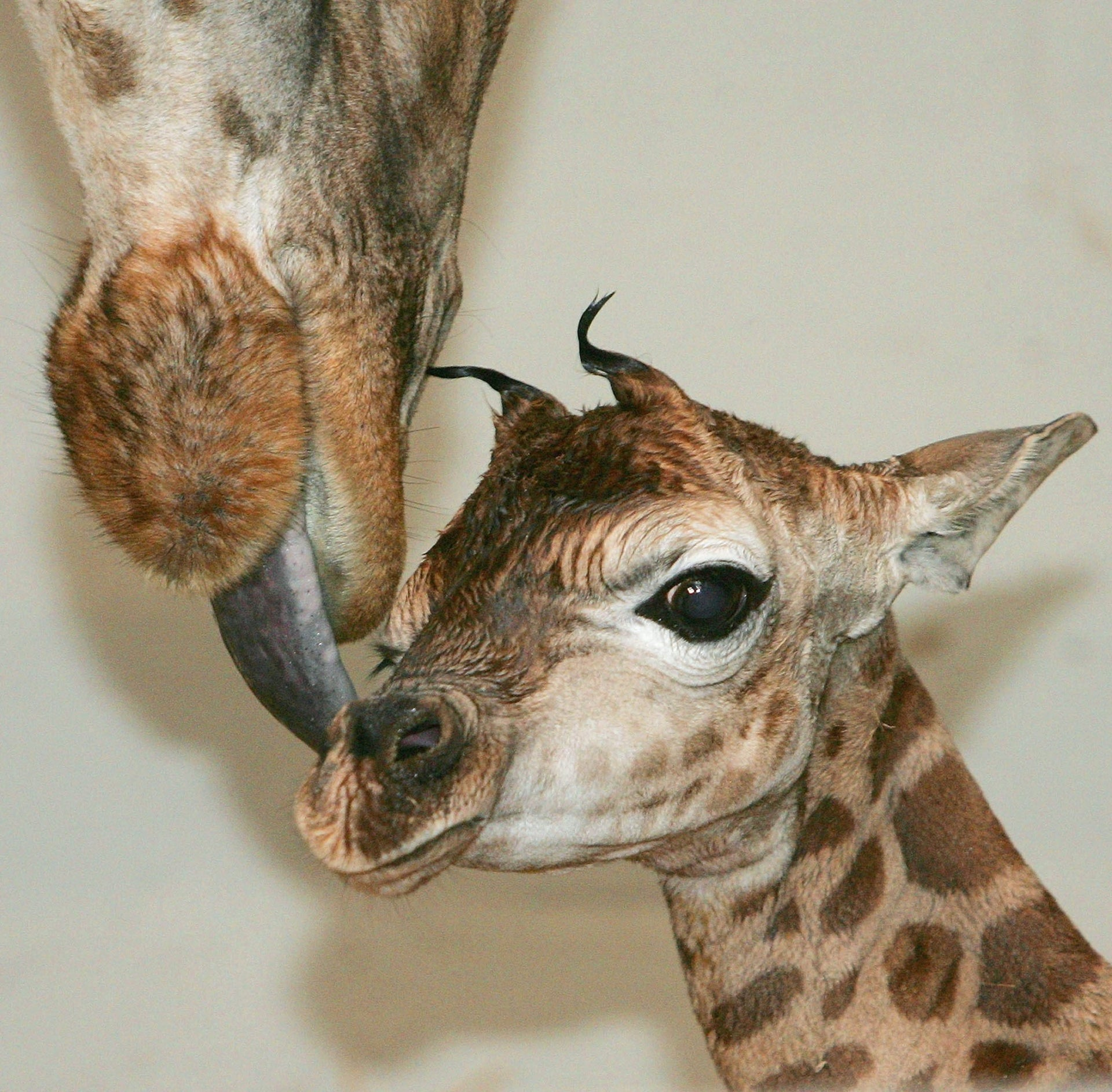 Giraffe mother Luana licks her newborn just moments after its birth at the zoo in Rapperswil, Switzerland, May 17, 2004. The baby, a male, weighed 85 kilograms and measured 1.5 metres in height at its birth.
