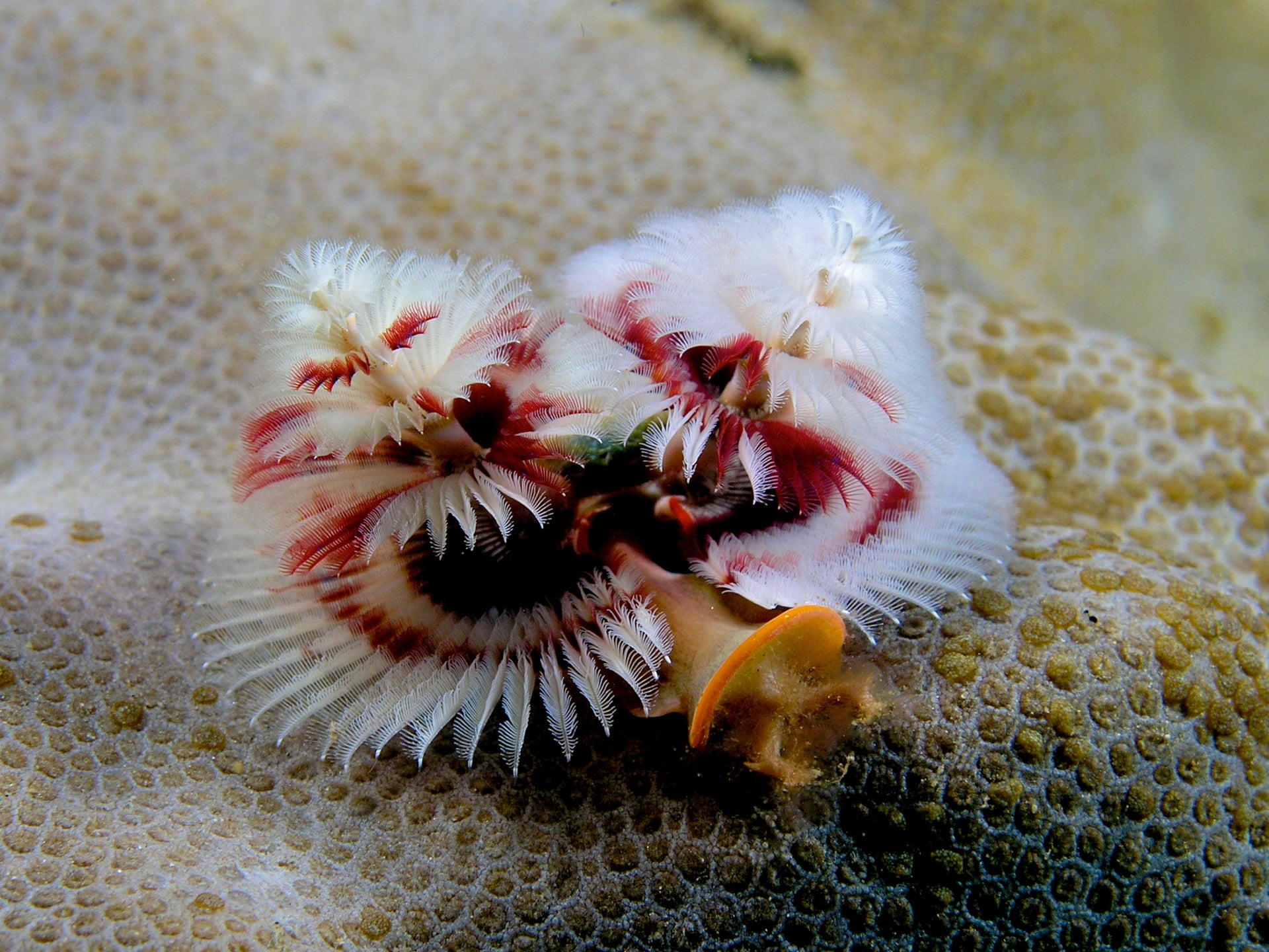 Spirobranchus giganteus, commonly known as Christmas tree worms