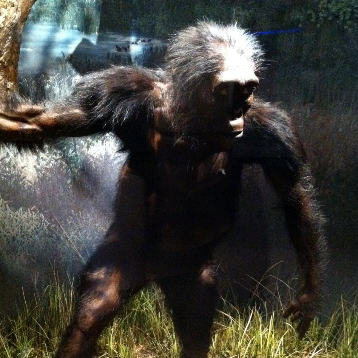 Another reconstruction of Lucy the Australophitecus, Natural History Museum, Washington DC, USA