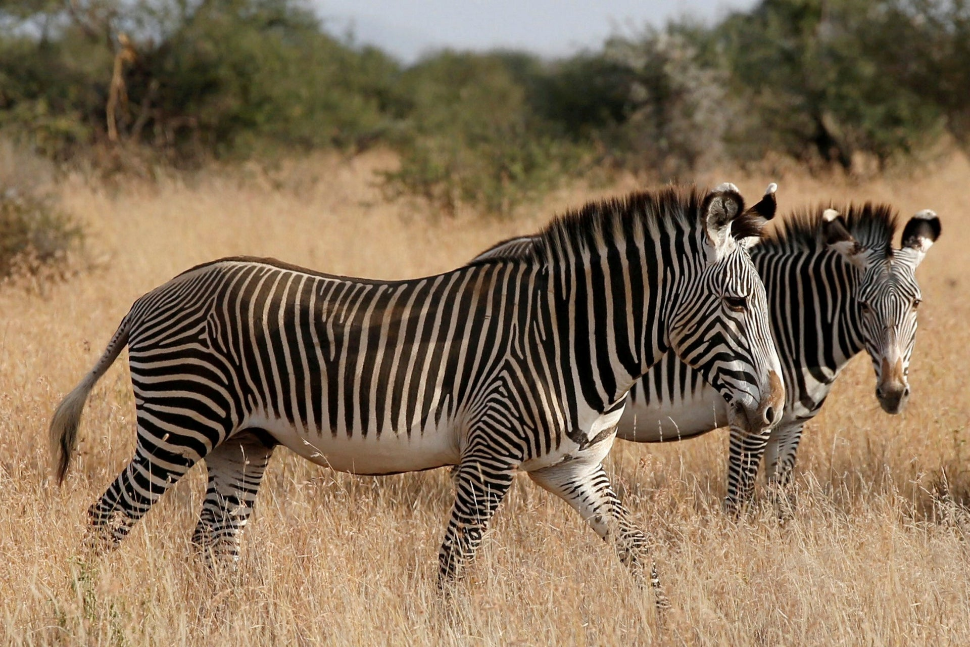 Grevy's zebras, the most threatened species of zebra, graze at the Mpala research centre in Laikipia County, Kenya, January 7, 2018.