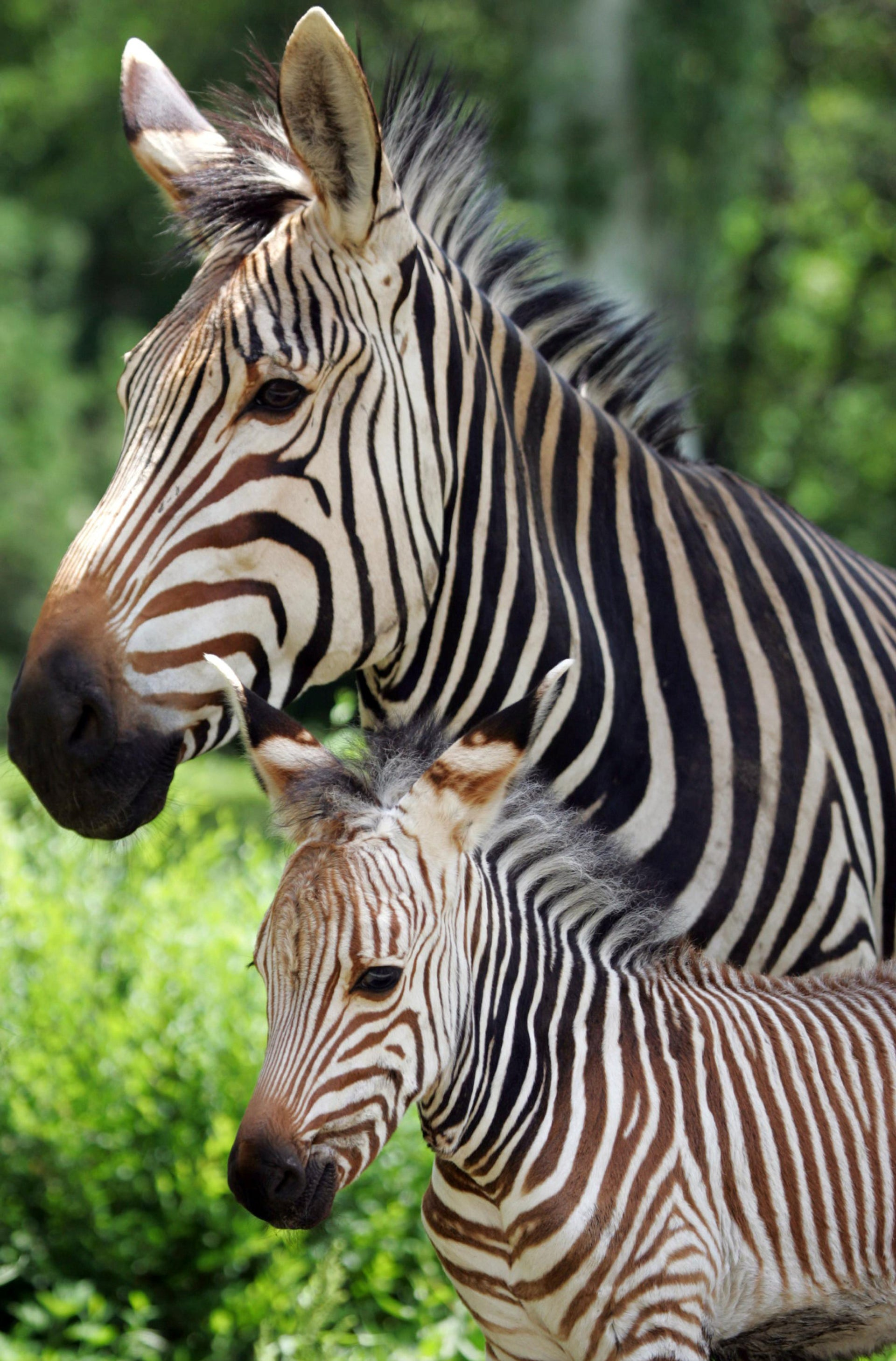 Merey, a one-week-old zebra foal, stands next to her mother Kivi in Almaty Zoo June 15, 2006.