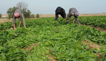 Crops damaged by Israel herbicide blowing over the border into the Gaza Strip. Crops up to 2,200 meters west of the fence are affected by the spraying, says the Red Cross.