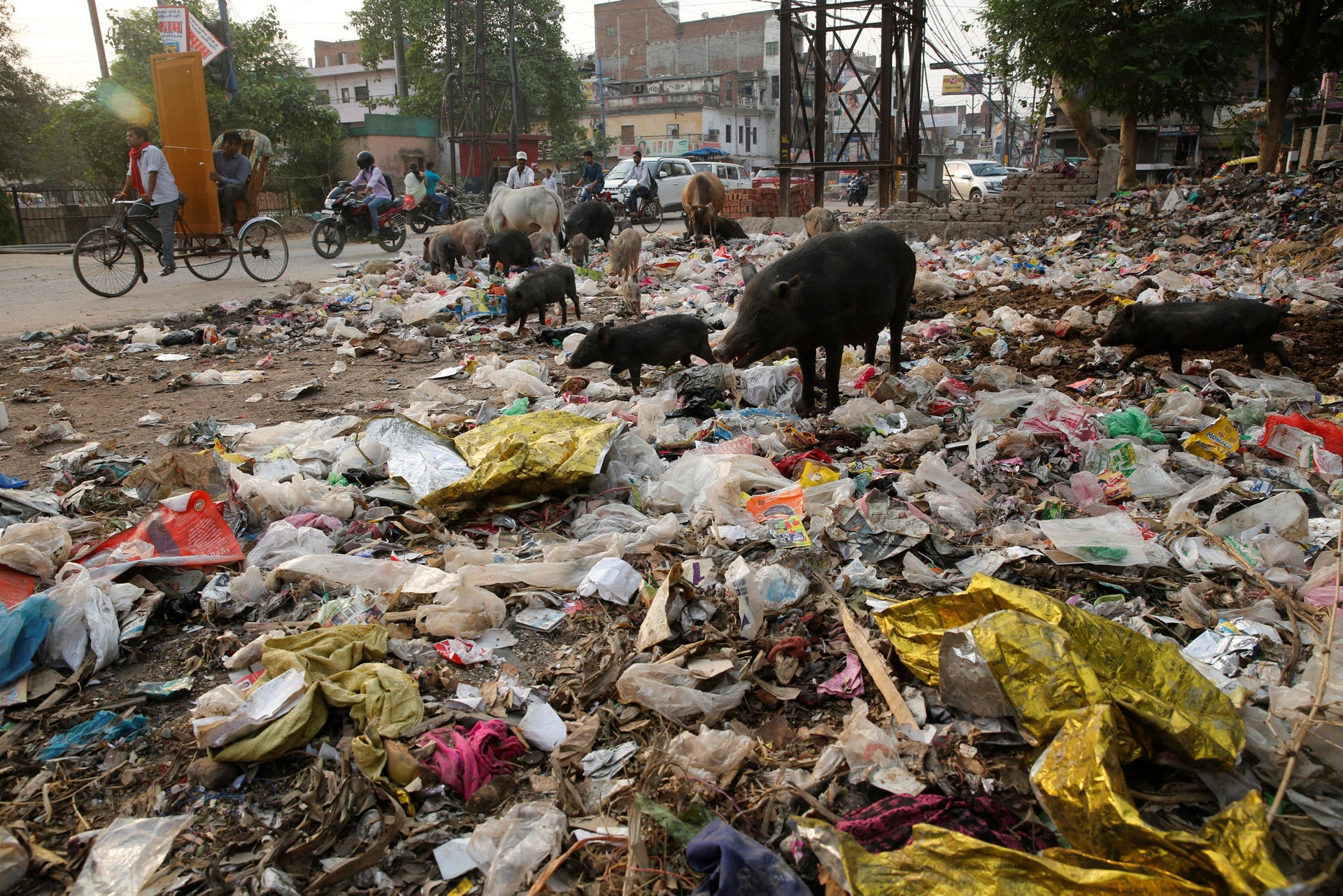 pigs and cows feed off garbage dumped by the side of a road in Allahabad, India