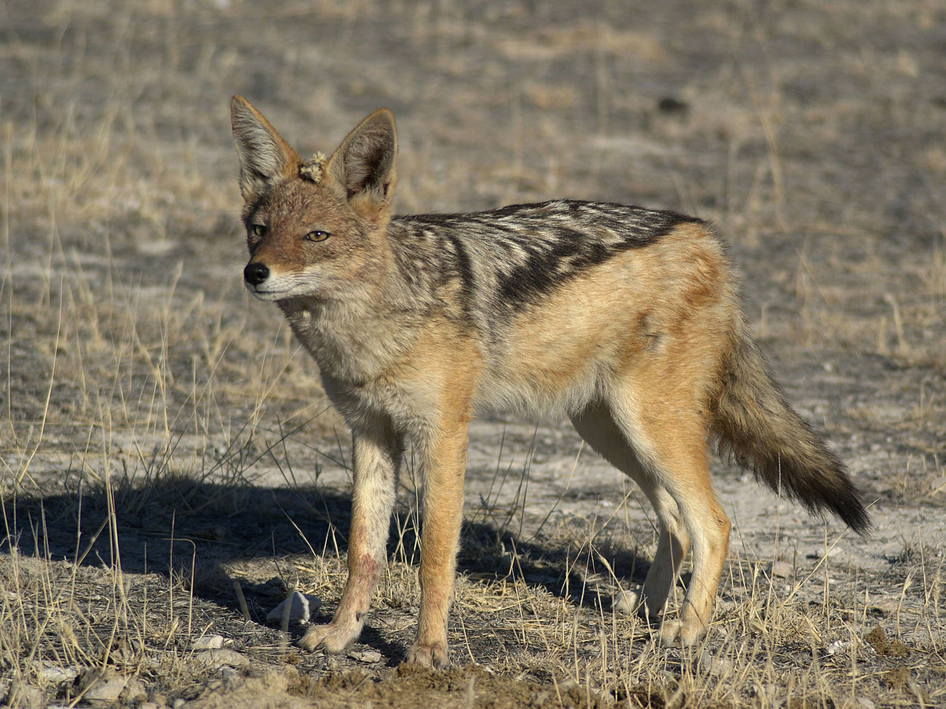 Black-backed Jackal near Wolfsnes, Western Etosha, Namibia.