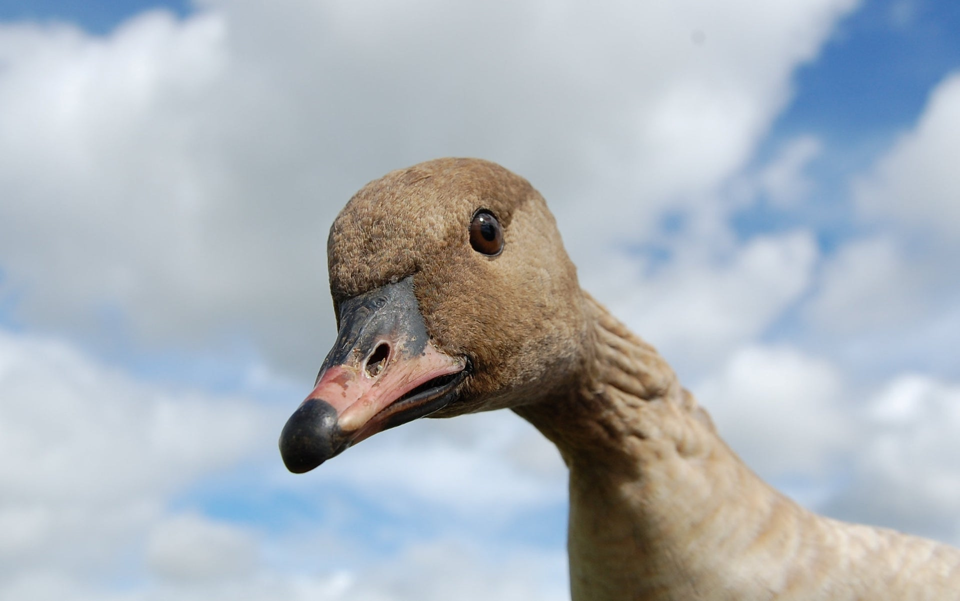 Pink footed goose in Norway are one of the species said to be in decline