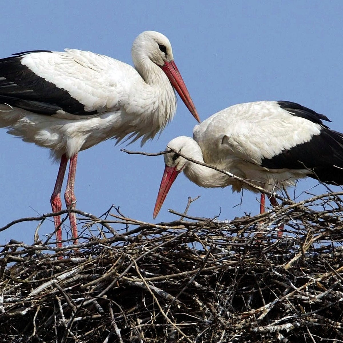Storks: Kosher or not?
