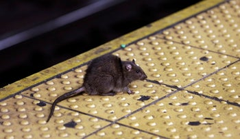 A rat sits on the ledge of a Times Square subway platform in New York