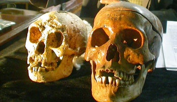 The skull, left,  of a newly discovered species known as  Homo floresiensis, displayed next to a normal human's skull, right,  at a news conference in Yogyakarta, Indonesia Friday, Nov. 5, 2004.