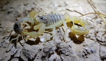 One of the species of scorpions