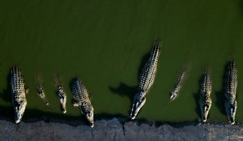 In this Monday, Aug. 6, 2018 photo, crocodiles rest at a farm in the Jordan Valley, West Bank.