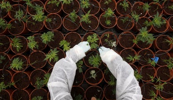 A worker tends to cannabis plants at a plantation near the northern Israeli city of Safed.