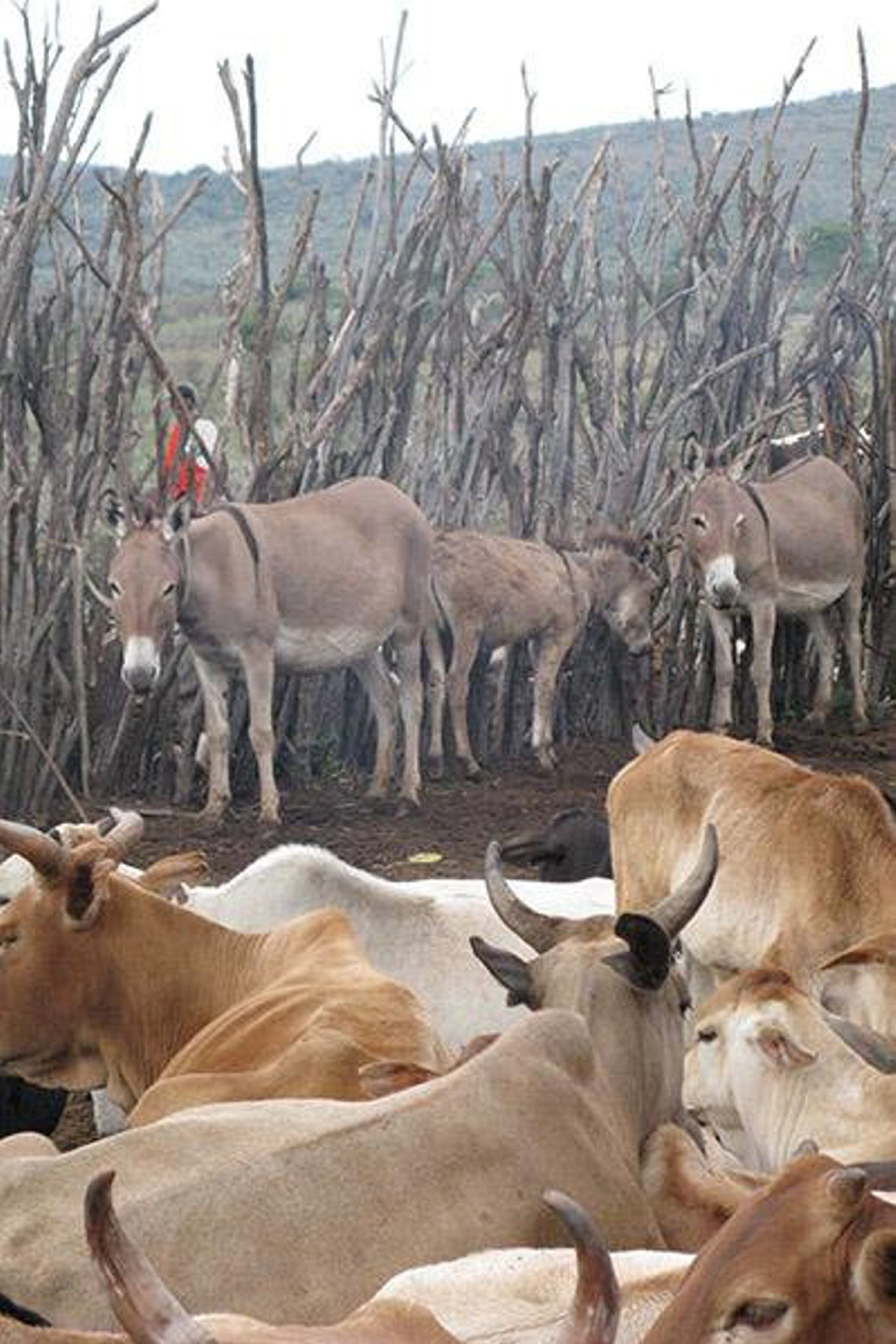 Cattle corrals, such as this one in a modern Maasai homestead in Kenya, have been used for thousands of years to provide overnight protection to cattle and other livestock.