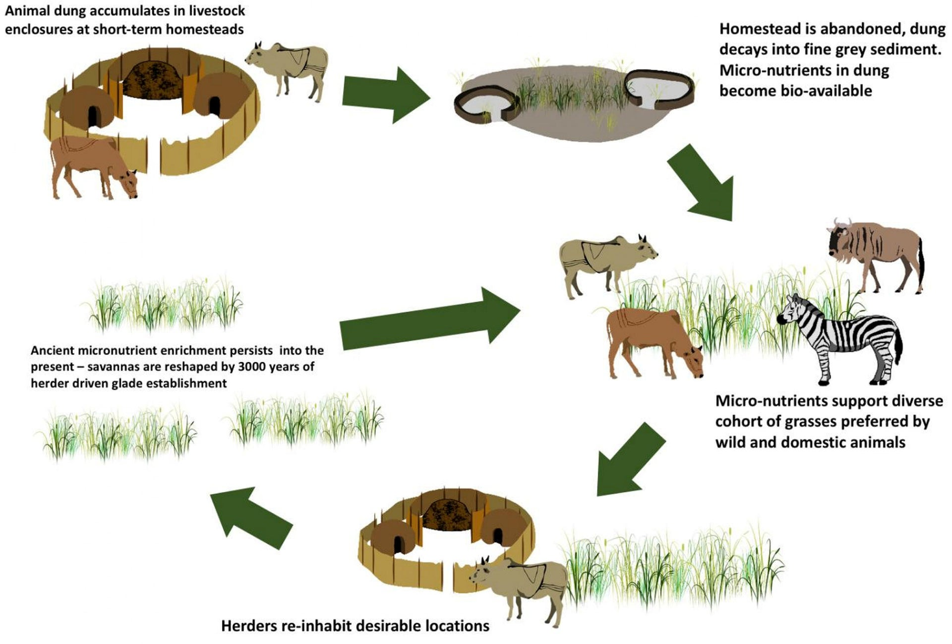 Some of Africa's most biologically diverse wildlife hotspots can trace their origins to a cycle of soil enrichment that begins with dung deposited in the livestock corrals of ancient herdsmen.