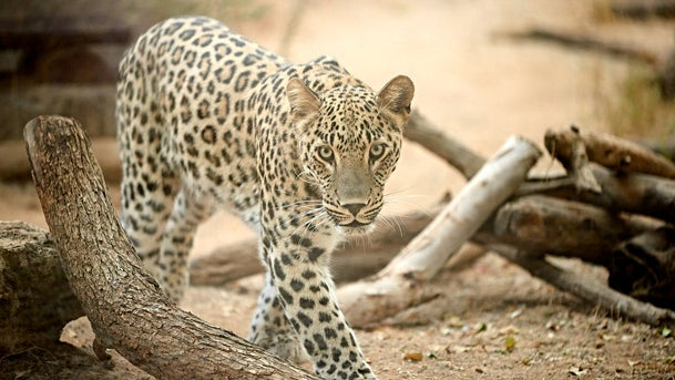 Cyrus? Rustam? Little Satan? Iranians have been sending in their suggested names for the Persian leopard now at Ramat Gan Safari Park.