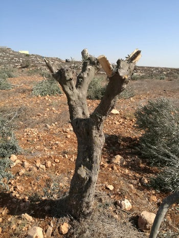 An olive tree uprooted in the village of Mreir, October 14, 2018.
