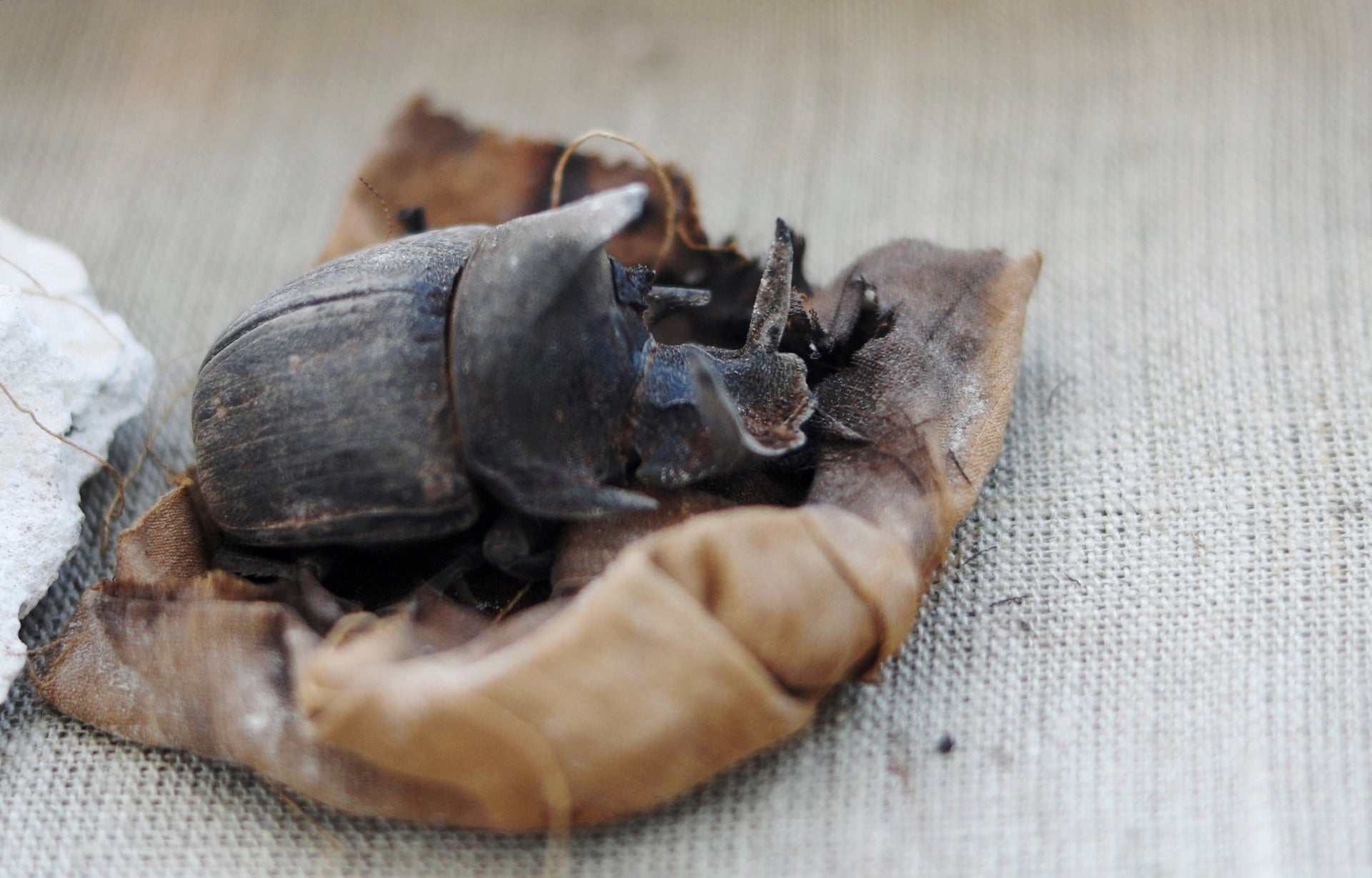 A mummified scarab inside the tomb of Khufu-Imhat on display, at the Saqqara area near its necropolis, in Giza, Egypt November 10, 2018.
