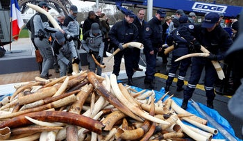 Elephant tusks in France in the possession of the police, 2014.