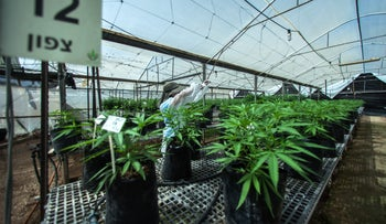Employee inspects cannabis plants in a greenhouse in Kfar Pines, Israel, September 21, 2016.