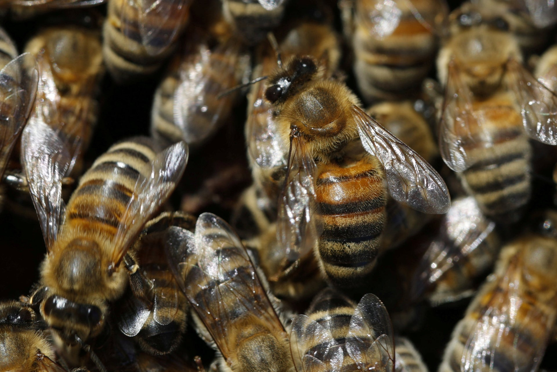 Bees are seen on a honeycomb section of a bee hive on the rooftop of the Mandarin Oriental Hotel in Paris, France, September 25, 2018.