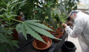 FILE Photo: A worker at a medical marijuana plantation in Israel.