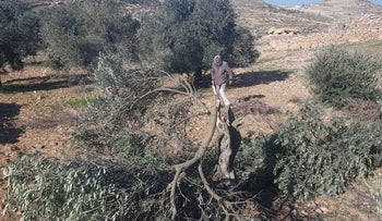 Damaged trees in the West Bank village of A-Tawani, January 8, 2019