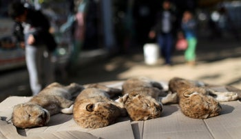 Bodies of four baby lion cubs that died in a zoo, Gaza Strip, January 18, 2019.
