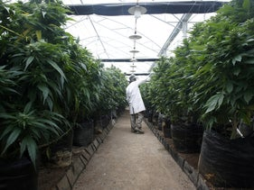 FILE PHOTO: An employee checks cannabis plants at a medical marijuana plantation in northern Israel March 21, 2017.