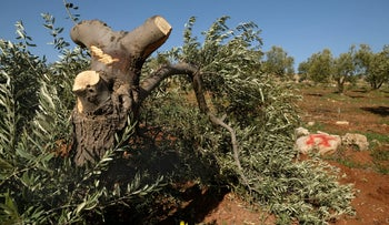Vandalism in an olive grove in the West Bank village of Al-Mughayyir.