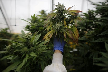 File photo: An employee checks cannabis plants at a medical marijuana plantation in northern Israel, March 21, 2017.