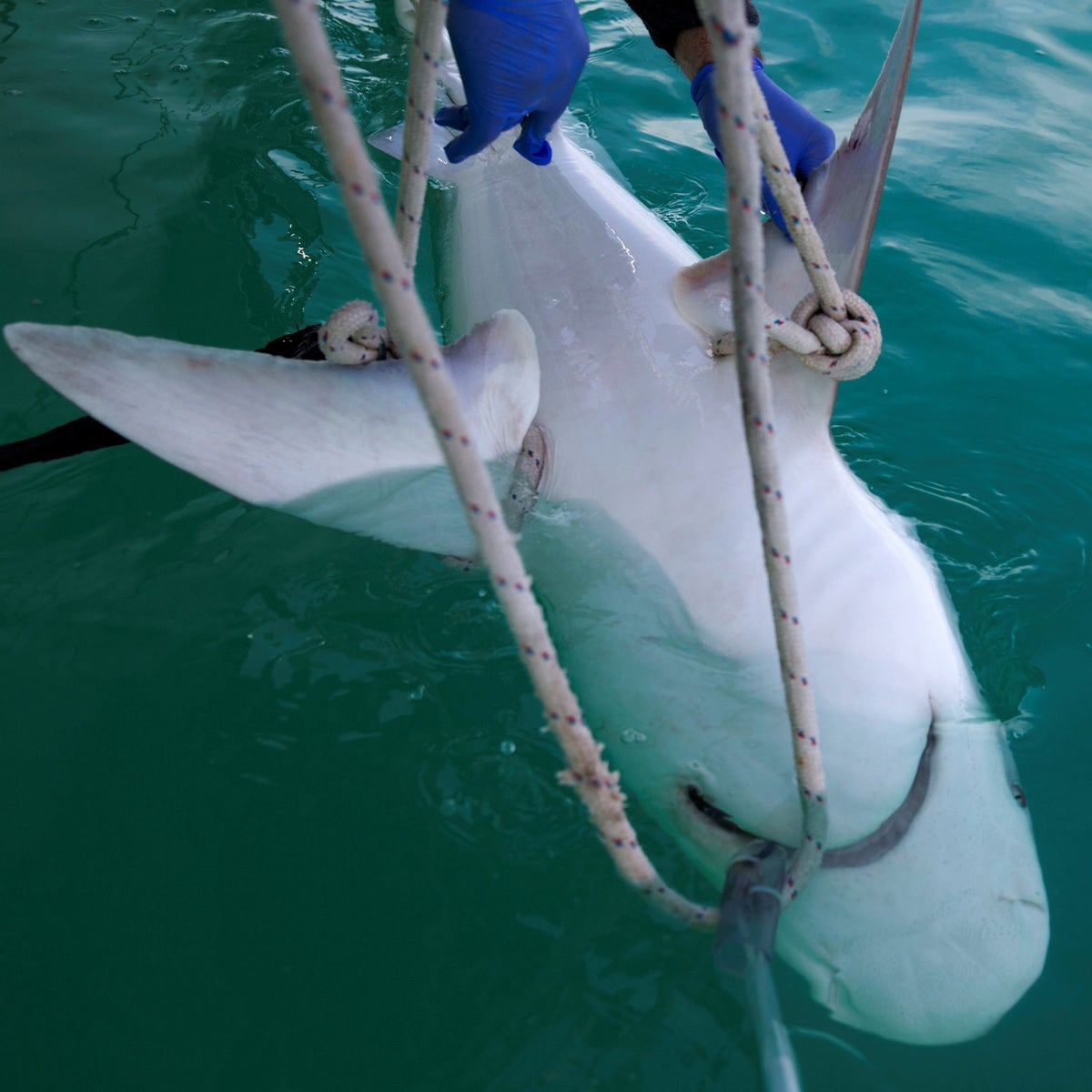 A sandbar shark is examined by researchers from the predator project of the Morris Kahn Marine Research Station, established by the University of Haifa, in the Mediterranean Sea off the coast of the northern Israeli city of Hadera.
