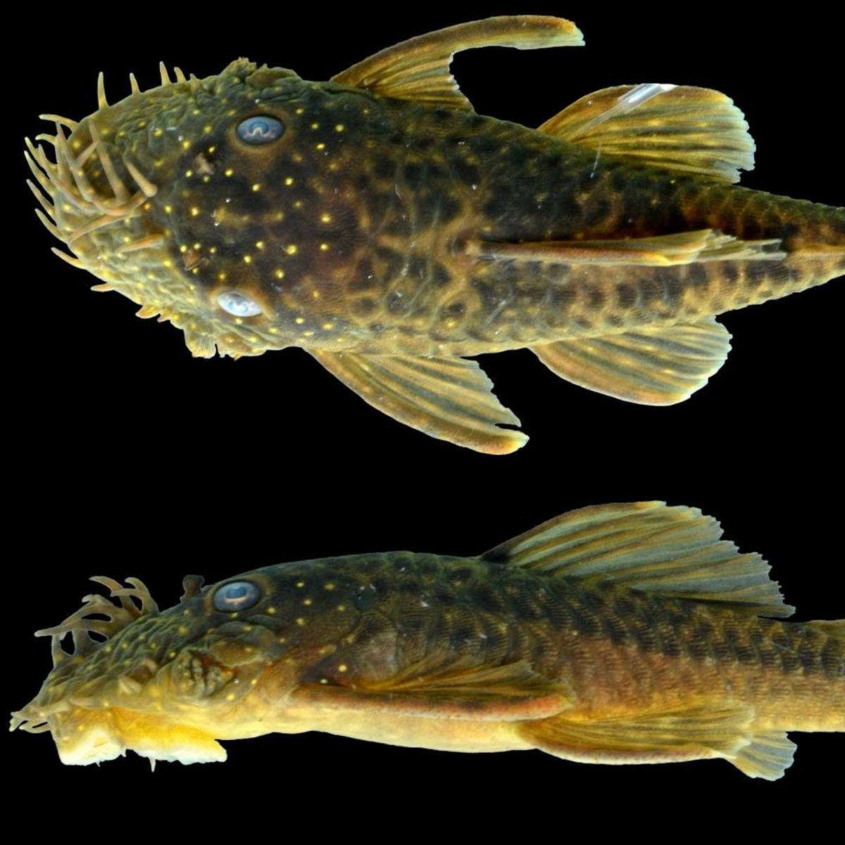 Newly discovered catfish named for Connie Keller, a supporter of conservation science