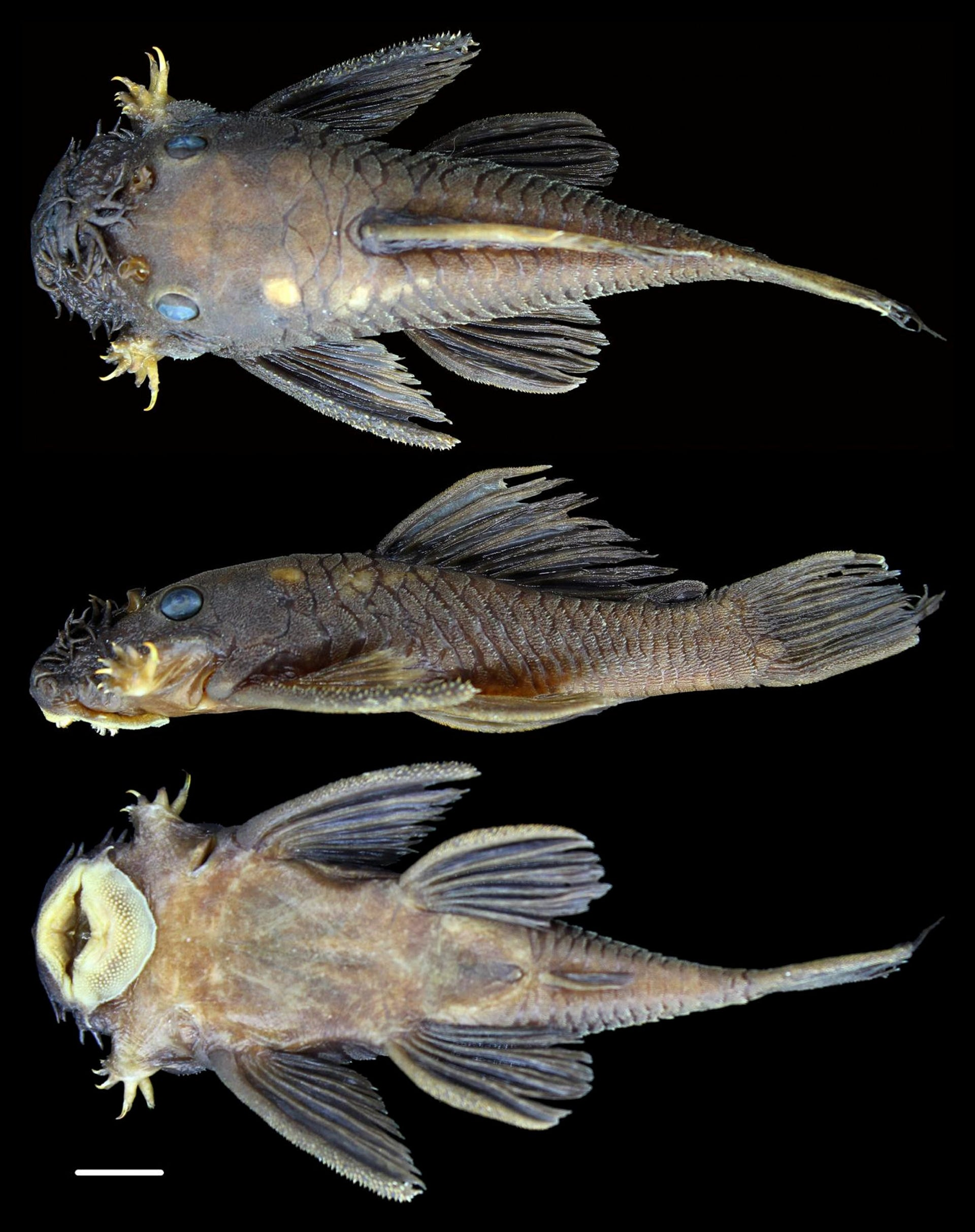 Ancistrus patronus, named for the genus's paternal care of offspring.